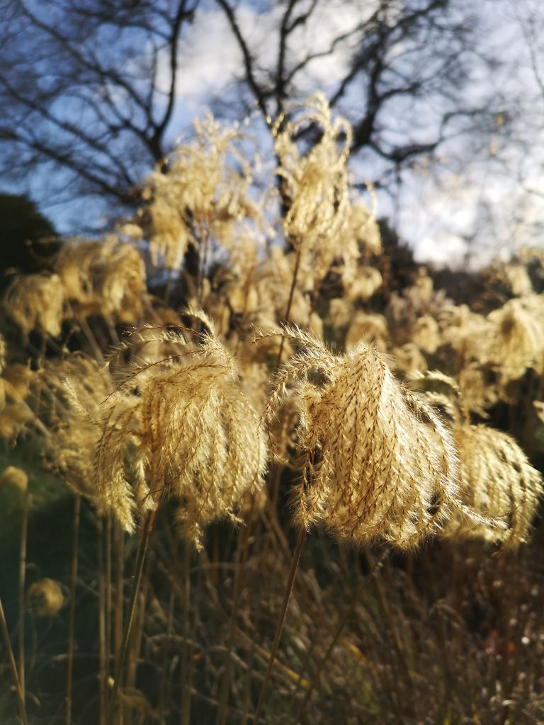Feathery seed heads glow in the winter sun at RHS Garden Wisley. An example of winter garden ideas for members of the Stonehouse Gardening Club